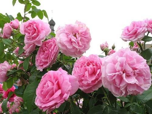 О чайной розе: как выглядит, почему так называется, уход в домашних условиях