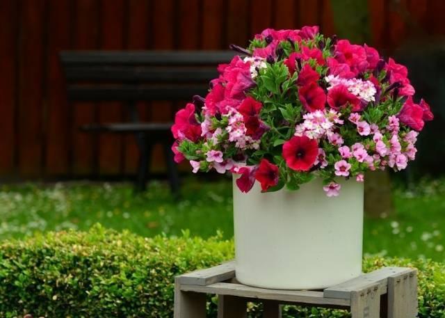 Чем подкормить петунию для обильного цветения – умело сочетаем удобрения!
