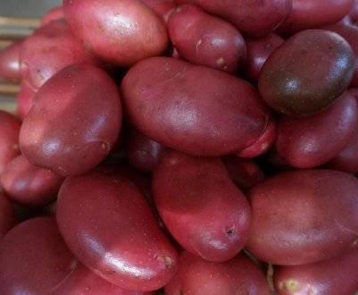 Сорт картофеля «алена» – описание и фото