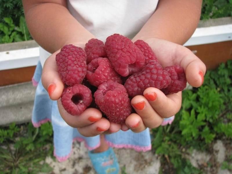 Что сделать, чтобы предотвратить разрастание малины на огороде