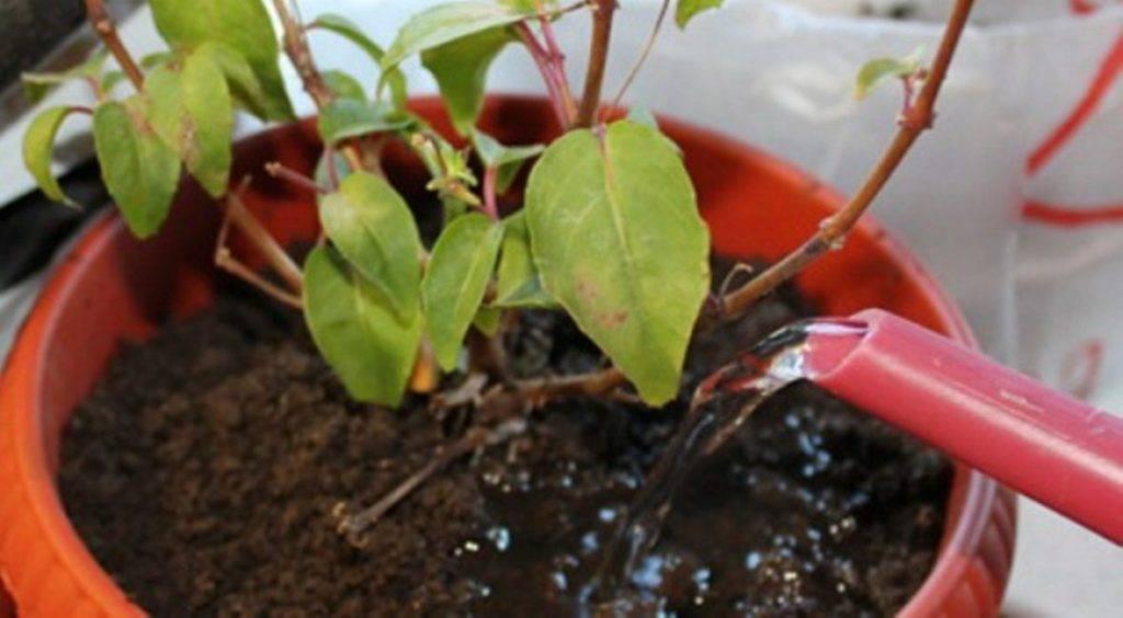 У азалии сохнут и опадают листья, они желтеют либо появляются пятна на кончиках: почему это случается с комнатным растением и что делать, а также фото проблемы