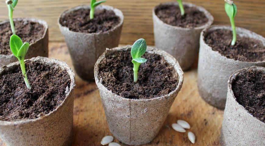 Посадка огурцов в опилки с кипятком — идеальный способ выращивания рассады