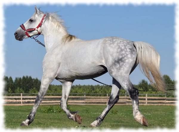 Орловские лошади: описание, характеристика и содержание породы