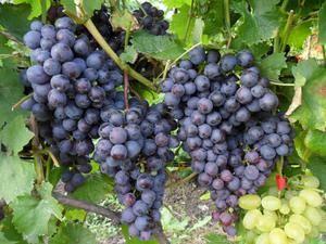 Сорт винограда илья муромец