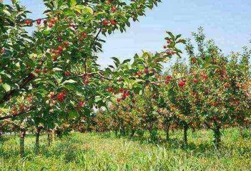 Экспертное мнение на каком расстоянии сажать яблони друг от друга