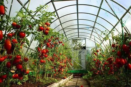 Схема посадки томатов в теплице - на каком расстоянии сажать помидоры в теплице для богатого урожая. | красивый дом и сад