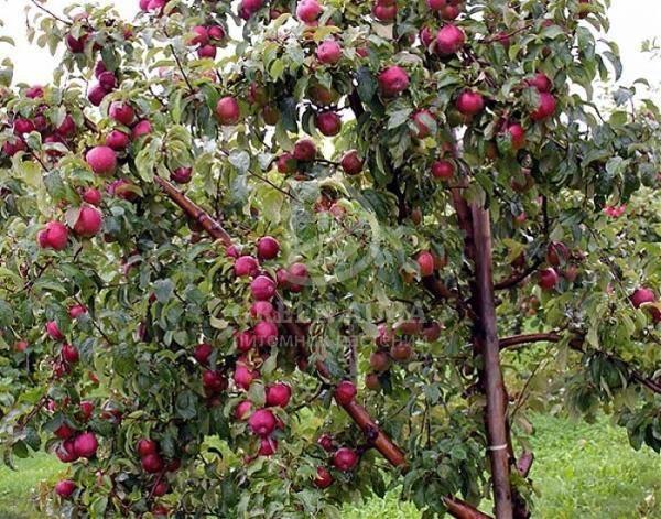 Яблоня лобо: описание сорта, фото, отзывы садоводов, уход