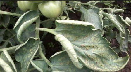 Болезни рассады томатов с фото и их лечение