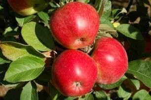 Свердловские сорта яблони - сады сибири