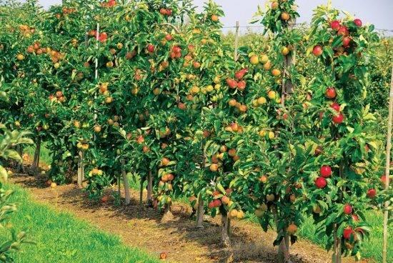 Плодовые деревья для подмосковья