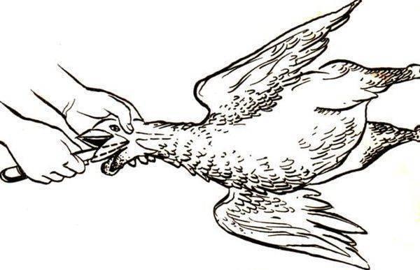 Как убивают кур на птицефабрике: отлов, транспортировка, обескровливание, потрошение и другие этапы забоя