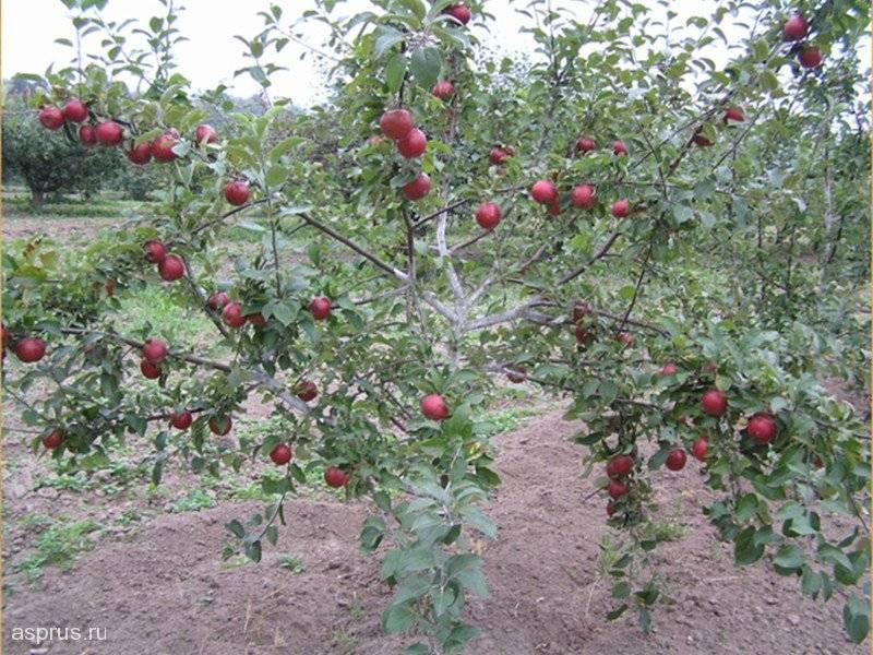 Яблоня сорта беркутовское: подробная характеристика, особенности выращивания и ухода