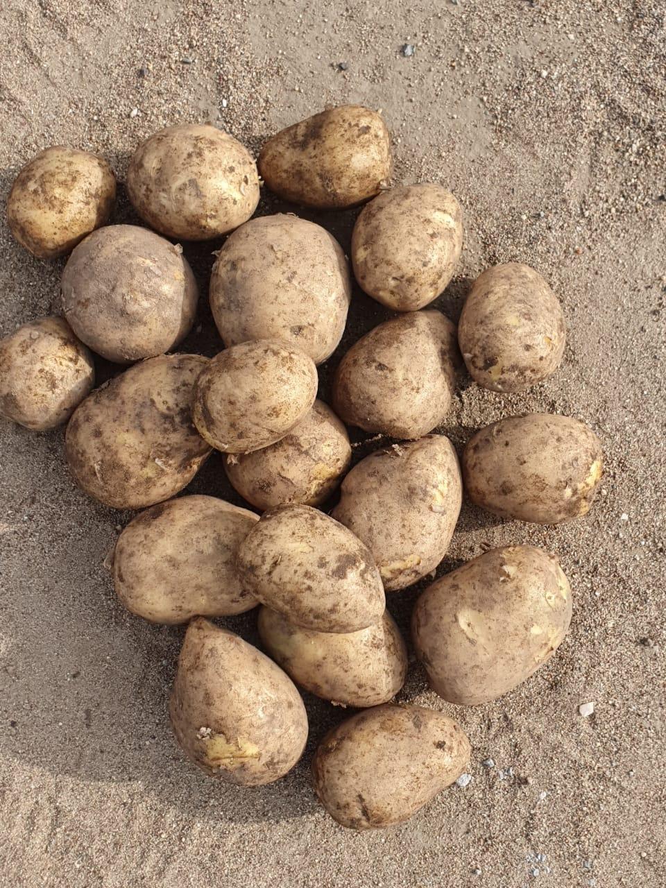 """Картофель """"гала"""": описание сорта и агротехника выращивания"""
