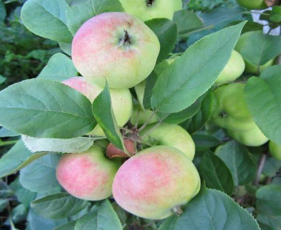 Описание и агротехника выращивания яблони сорта джеромини
