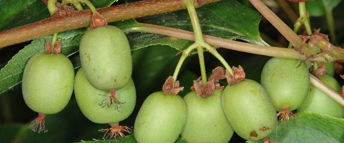 Актинидия: посадка и уход. выращивание актинидии