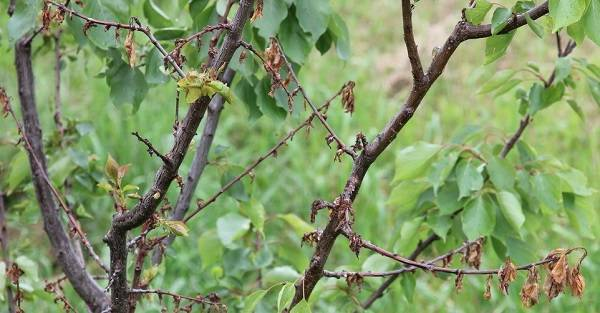 Почему не плодоносит абрикос — что делать и как найти причину отсутствия урожая. основные проблемы при выращивании абрикос