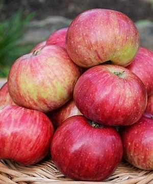 О яблоне Анис: описание сорта, характеристики, агротехника, как выращивать
