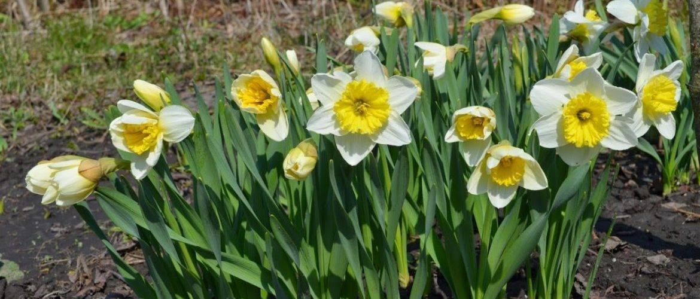 Нарциссы осенью: как и когда сажать в грунт, как ухаживать