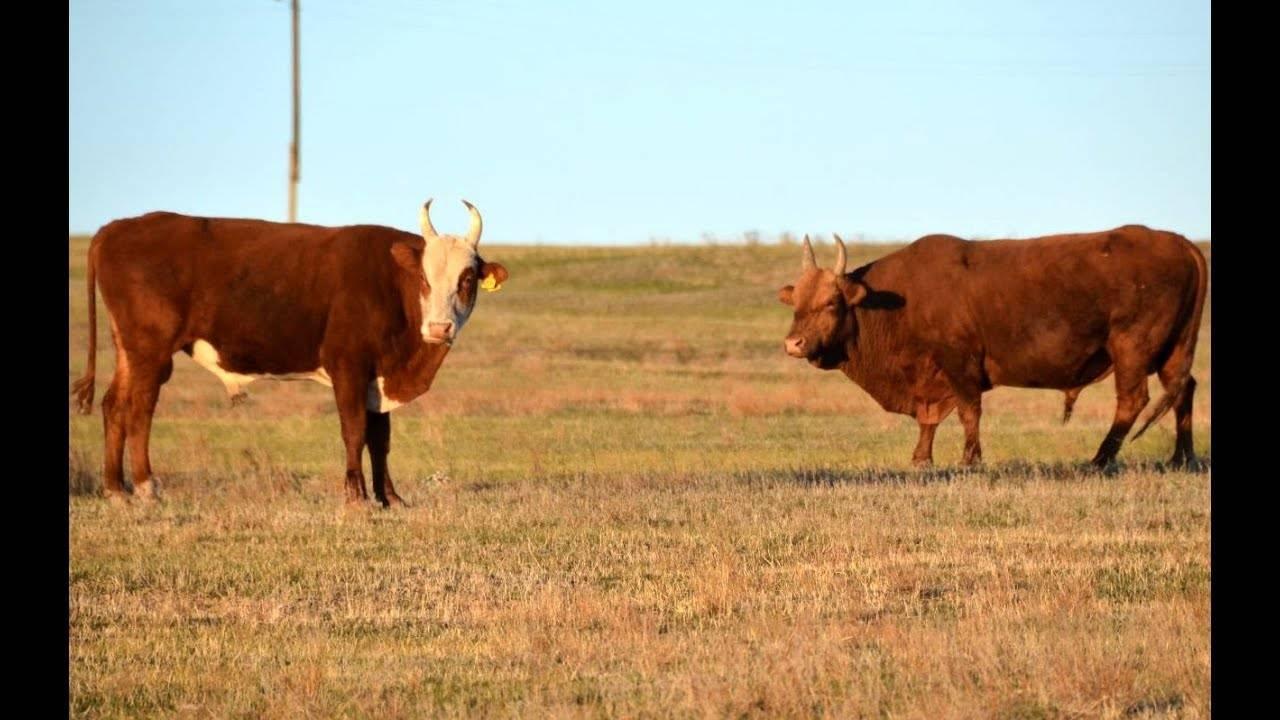 Казахская белоголовая порода коров (25 фото): характеристика быков и телят, плюсы и минусы крс казахской белоголовой породы
