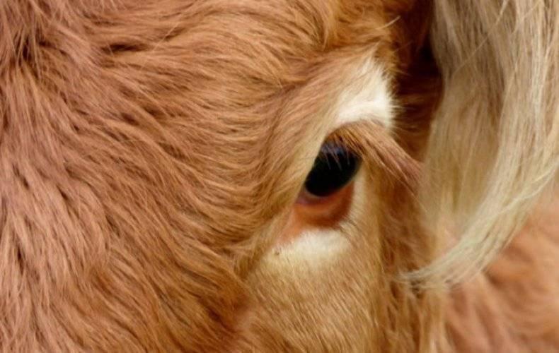 Лечение бельма у коров и телят