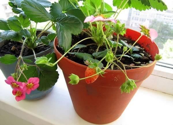 Всё об ампельной клубнике: правила ухода и советы по выращиванию