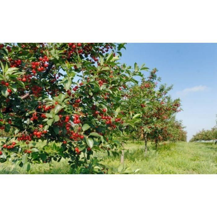 Сорт вишни молодежная — отзывы. негативные, нейтральные и положительные отзывы