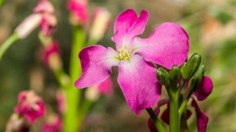 Особенности выращивания маттиолы двурогой