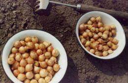 Легкий способ посадки лука-севка весной в открытый грунт