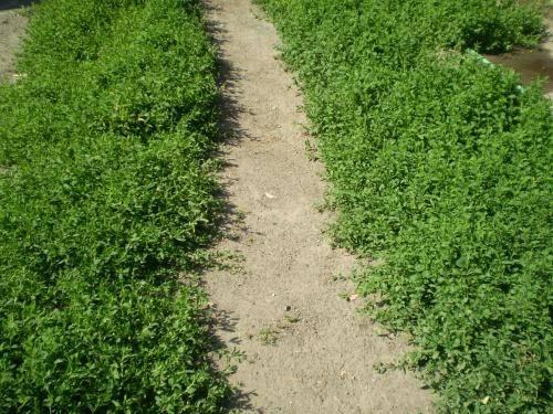 Имена спорыш травка муравка гусиная. травка-муравка. другое лекарственное применение спорыша