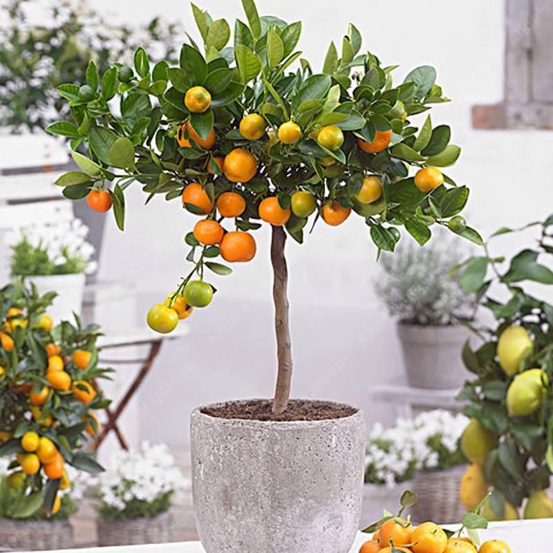 Как вырастить апельсиновое дерево (с иллюстрациями)