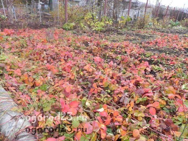 Чем подкормить клубнику после плодоношения и обрезки листвы