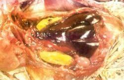 Микоплазмоз у кур: описание, стадии, симптомы