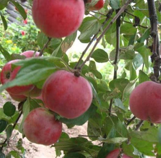 Яблоня звездочка: особенности сорта и ухода