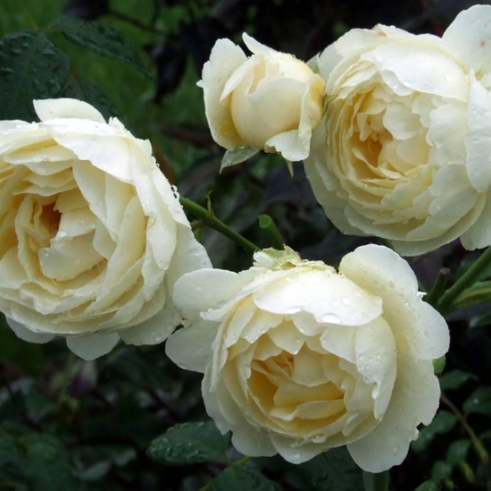 Роза клэр остин (claire austin)