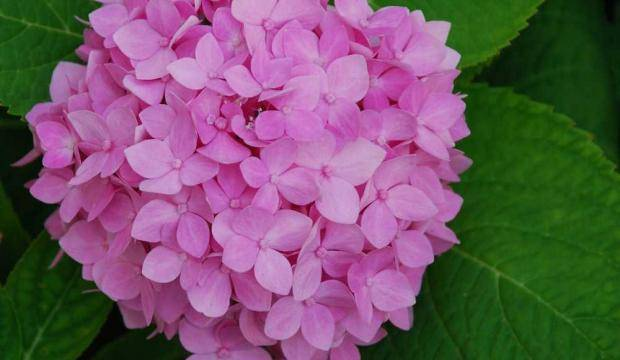Когда цветет гортензия метельчатая, крупнолистная и древовидная