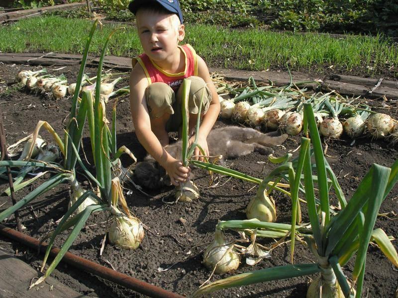 Лук эксибишен — выращивание из семян: когда сажать в 2020 году, как правильно садить рассадой