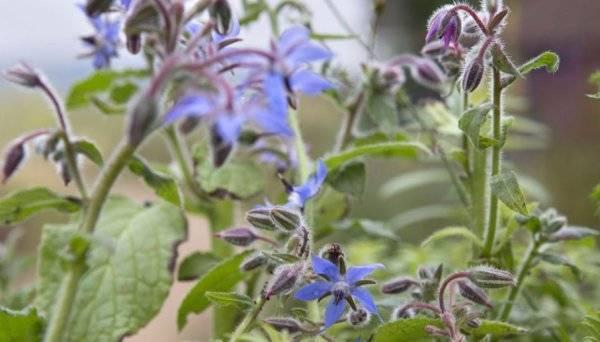 Огуречная трава в народной медицине и кулинарии