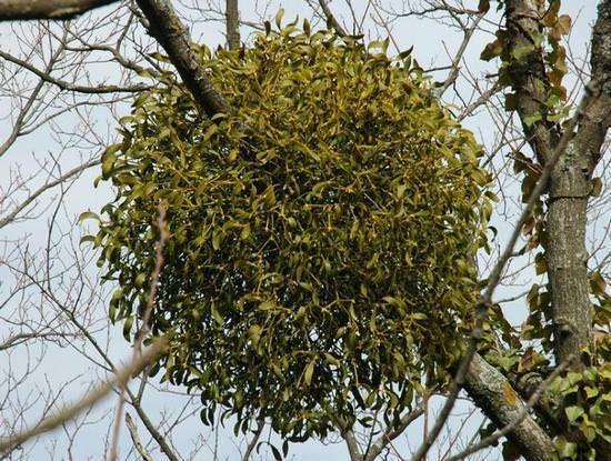 Трава мурава: описание, свойства и применение