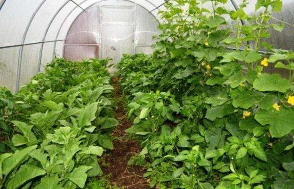 Совместимость овощных культур: можно ли сажать в одной теплице огурцы, помидоры и перцы? таблица совместимости и схема