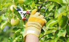 Что такое вегетация у яблонь