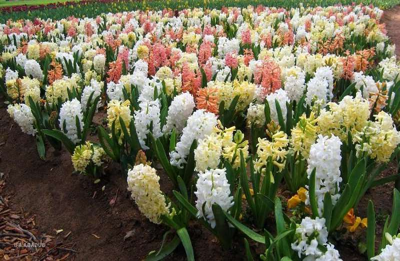 Гиацинты — особенности посадки и ухода