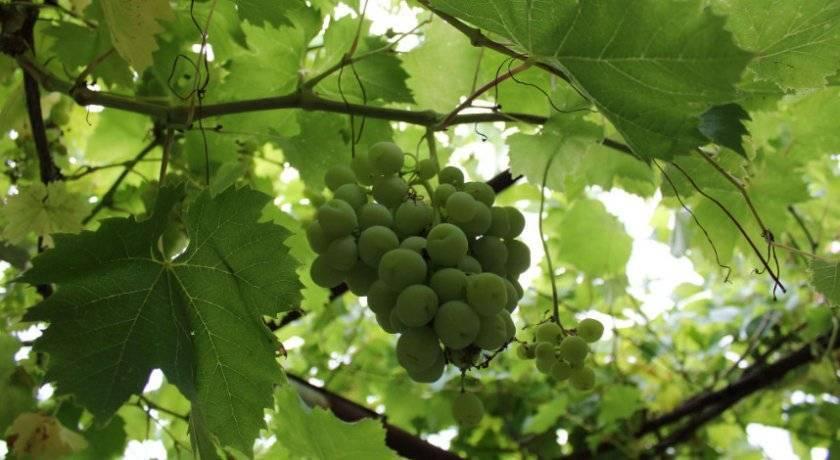 Обрезка винограда летом - сроки и правила для начинающих