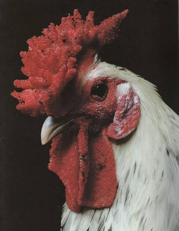 Сколько живет курица: жизненный цикл кур, как продлить жизнь курице