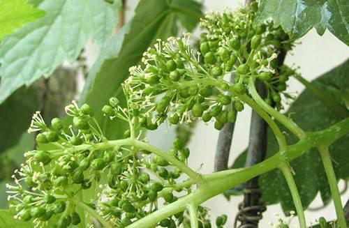 средства для опрыскивания винограда весной перед цветением