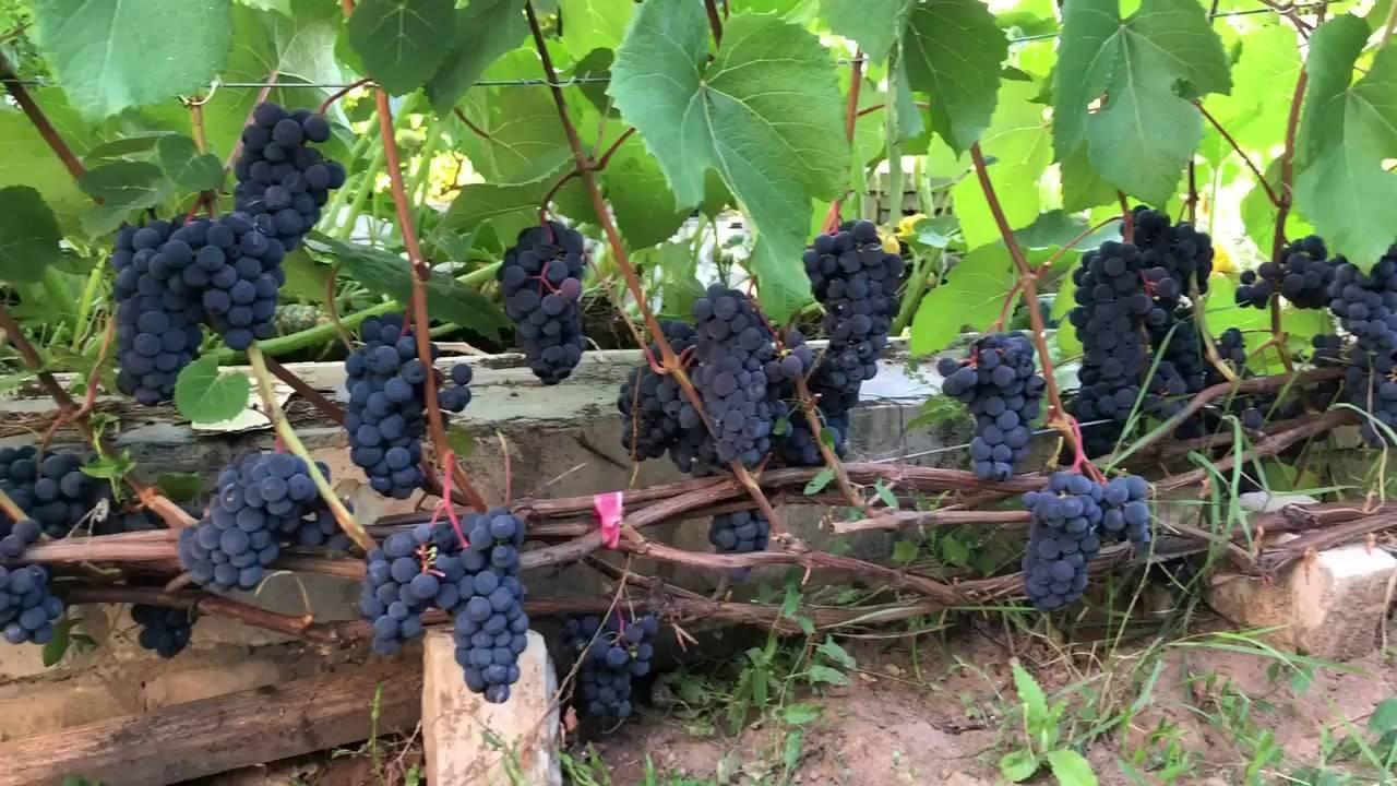 Виноград сорта столетие — для истинных любителей кишмиша