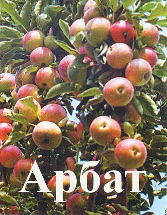 Яблоня колоновидная арбат описание сорта фото отзывы