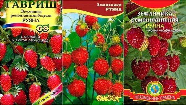 Земляника руяна - описание сорта, технология выращивания из семян