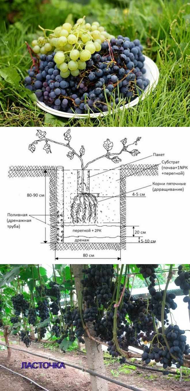 Выращивание винограда в сибири: фото и видео