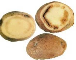Болезни и вредители картофеля - виды, симптомы, описание с фото, методы борьбы