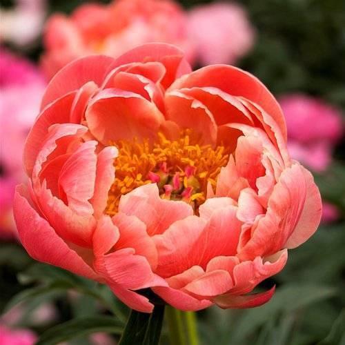 Пион ред чарм (paeonia red charm) — характеристики сорта